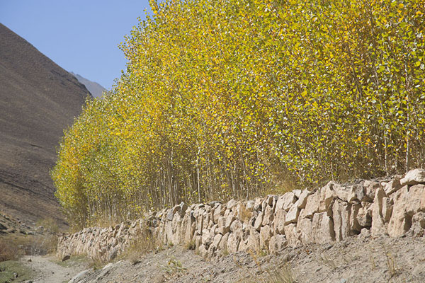 Line of trees in Qazan valley | Qazan Valley | Afghanistan
