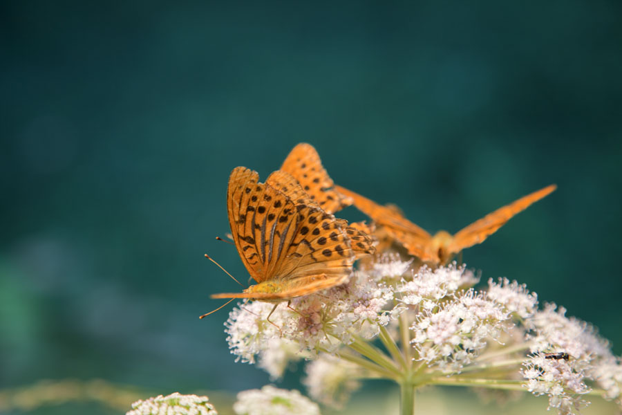 Picture of Theth (Albania): Close-up of orange butterflies on flower, with the Blue Eye pool as the backdrop