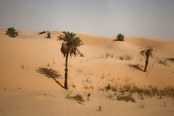 Picture of Palm trees on the sand dunes of the SaharaTimimoun - Algeria