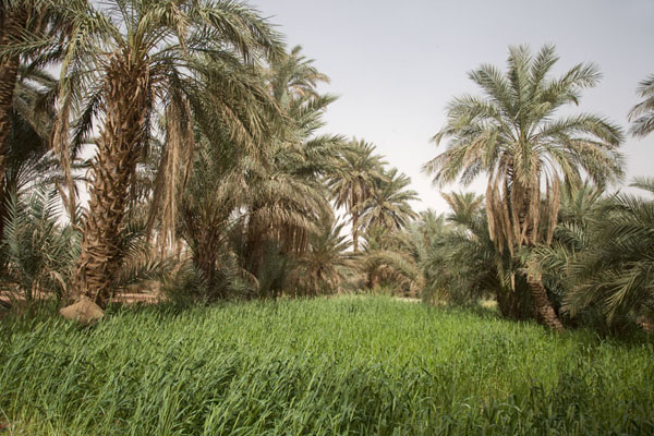 Palm trees and wheat in an oasis | Sebkha Circuit | Algeria