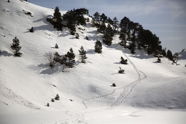 Trees and snowy slopes with traces of skiers | Pla de l'Estany | Andorra