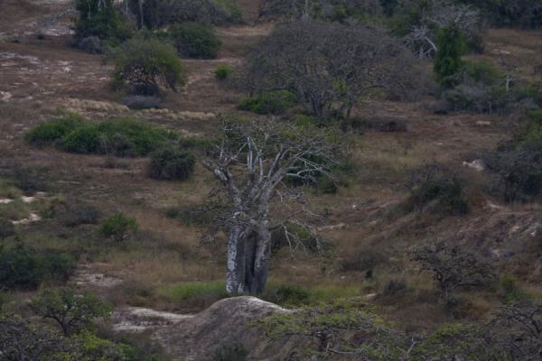 One of the many baobab trees in the plain below the cliffs - 安哥拉 - 非洲