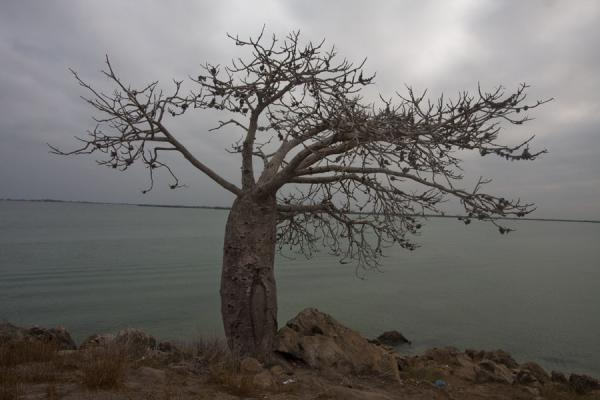 Picture of Lone baobab tree with Mussulo island in the backgroundMorro da Cruz - Angola