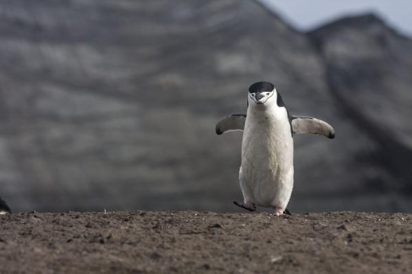 Picture of Chinstrap penguin at Baily HeadDeception Island - Antarctica