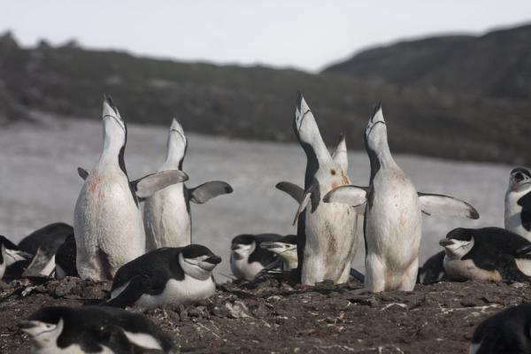 Foto de Singing chinstrap penguins at Baily HeadBaily Head - Antártida