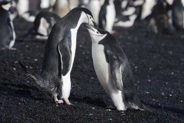 Picture of Two chinstrap penguins on the black sand beach of Baily HeadDeception Island - Antarctica