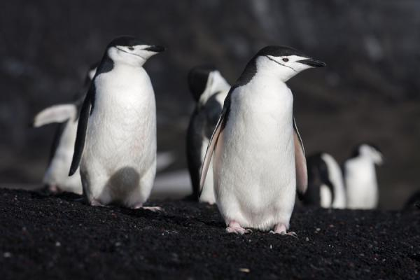 Foto de Chinstrap penguins on the beach of Baily Head in the early morningBaily Head - Antártida
