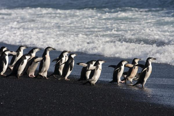 Foto de Chinstrap penguins heading for a swim in the seaBaily Head - Antártida
