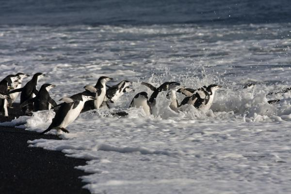 Chinstrap penguins in the surf of the sea | Baily Head | Antartide
