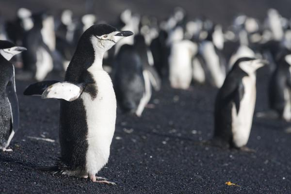 Foto de Chinstrap penguins enjoying the early morning sun at Baily HeadBaily Head - Antártida