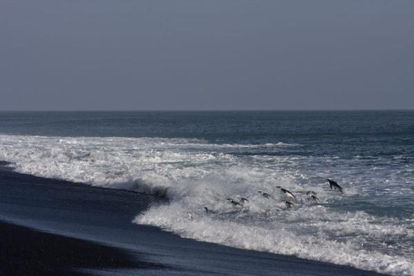 Picture of Chinstrap penguins jumping out of the surf at Baily HeadDeception Island - Antarctica