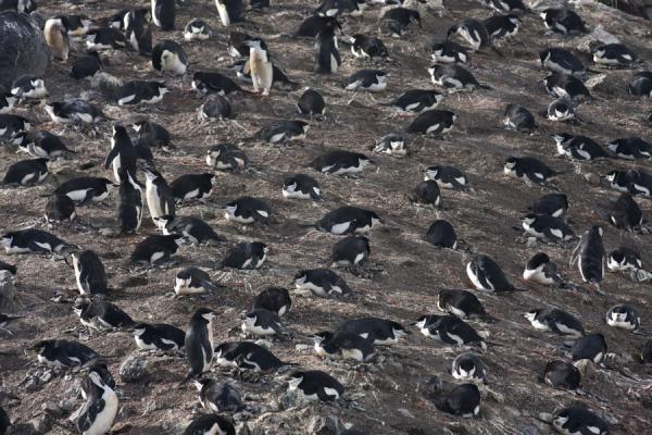 Picture of Chinstrap penguins on their nests at Baily HeadDeception Island - Antarctica