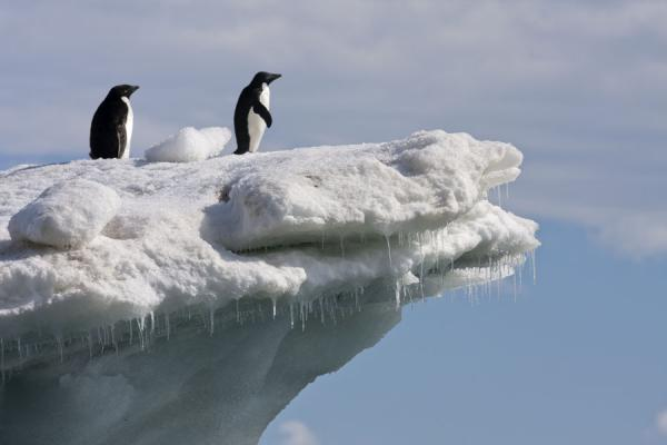 Photo de Adélie penguins on an iceberg with icicles at Brown BluffBaily Head - Antarctique