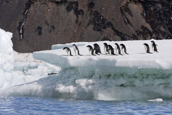 Picture of Adélie penguins walking on top of a small iceberg at Brown Bluff
