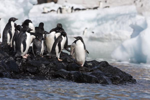 Foto de Adélie penguins at the shoreline at Brown BluffBaily Head - Antártida