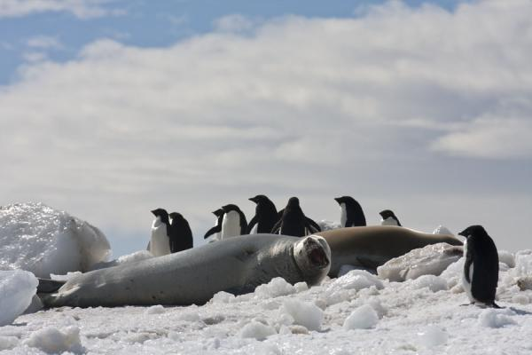 Picture of Adélie penguins and seals on an iceberg at Brown Bluff