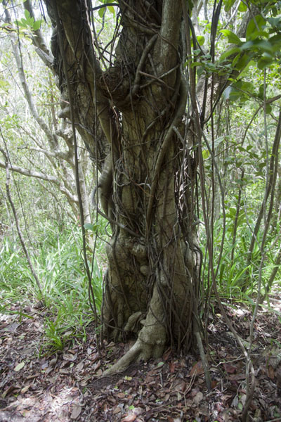 Tree on the slopes of Mount Obama | Mount Obama | Antigua y Barbuda
