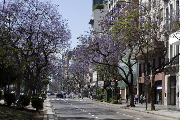 Foto van Jacaranda trees flowering over Carlos Pellegrini - Argentinië - Amerika