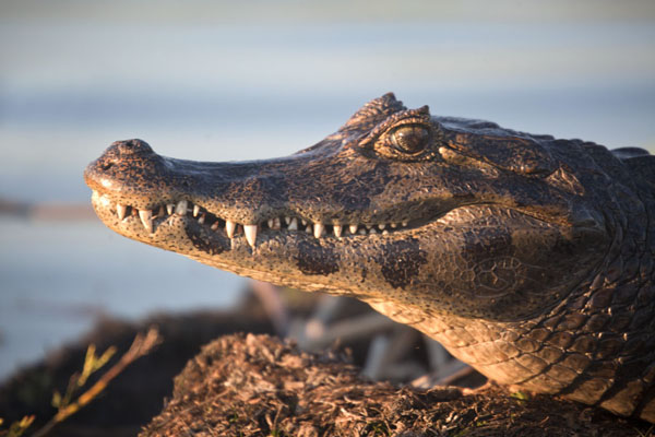 Caiman resting in the late afternoon sun - 阿根廷