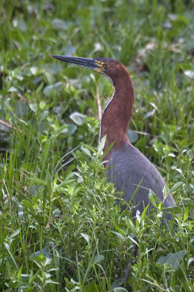 Rufescent tiger heron monitoring its surroundings in the wetlands of Iberá | Esteros del Iberá | l'Argentine