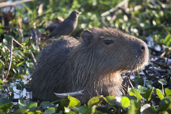 Capybara with bird on its back | Iberá Wetlands | 阿根廷