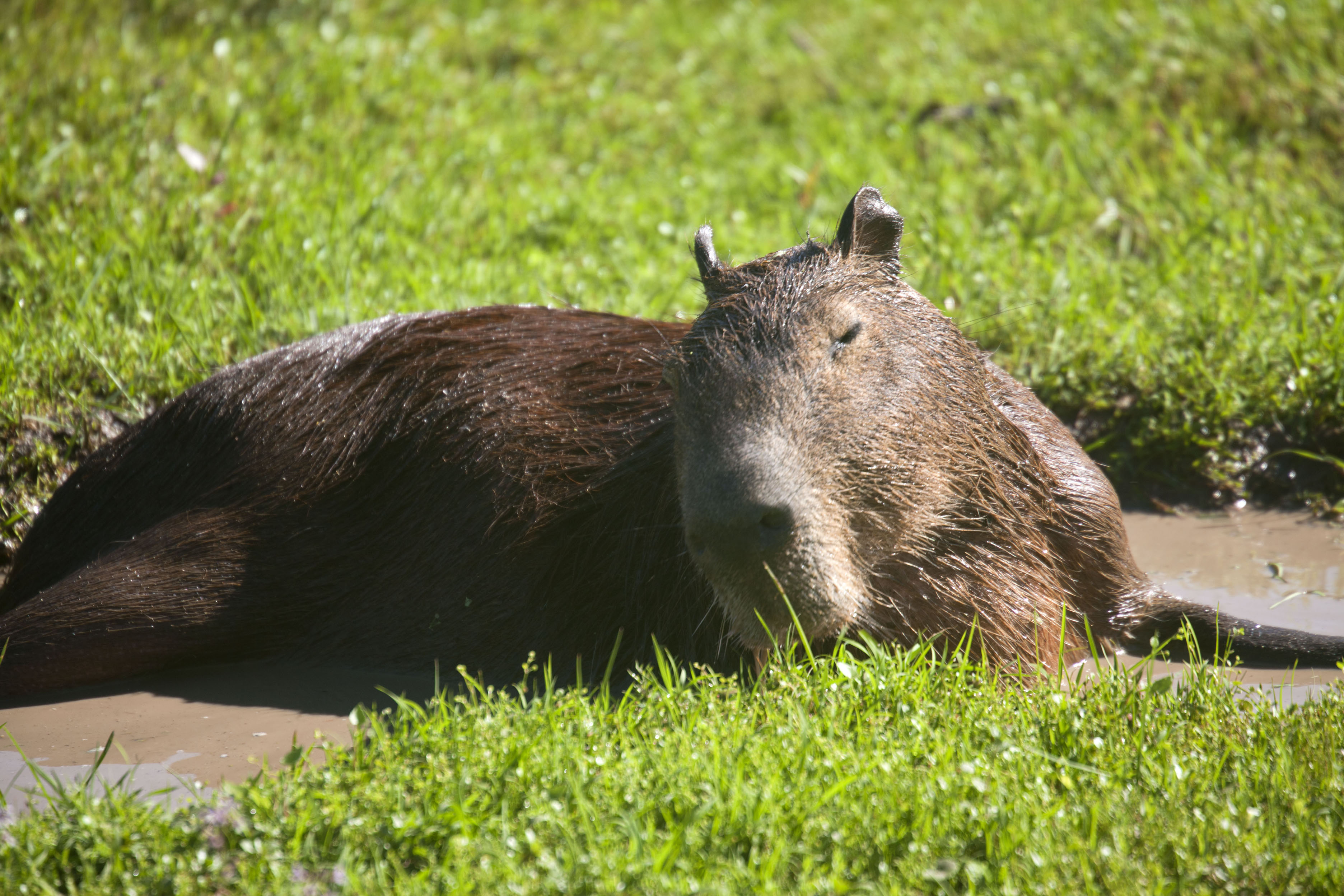 Capybara, largest rodent on earth, lying in the sun | Iberá Wetlands | Argentina