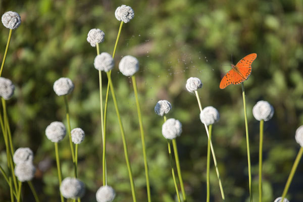Butterfly among flowers in the Iberá wetlands - 阿根廷