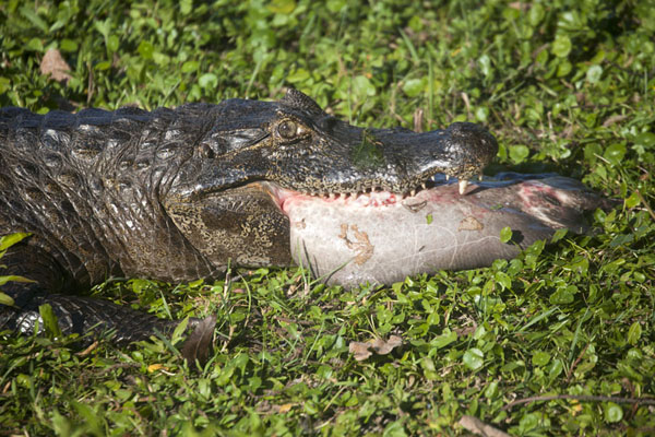 Picture of Caiman trying to devour a rayEsteros del Iberá - Argentina