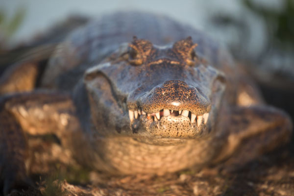 Foto van Late afternoon sunlight on one of the many caimans in the Iberá wetlandsEsteros del Iberá - Argentinië