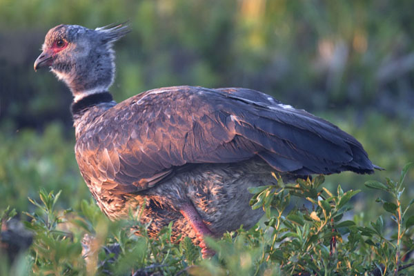 Close-up of southern screamer - 阿根廷