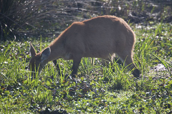 Deer in the wetlands of Iberá - 阿根廷