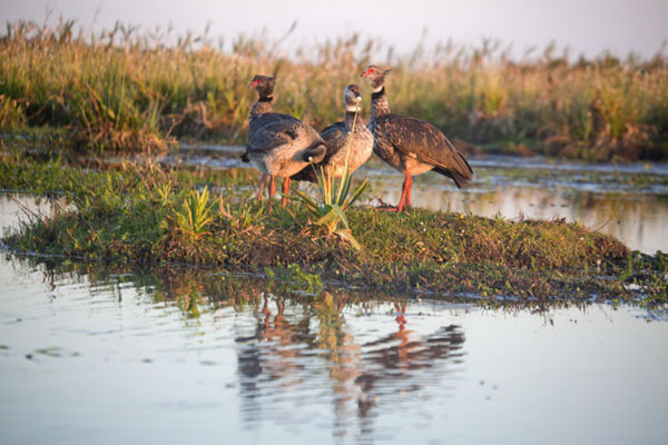 Foto van Family of southern screamers in the Iberá wetlandsEsteros del Iberá - Argentinië