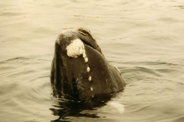 Picture of Puerto Madryn whale watching (Argentina): Whale at Puerto Madryn