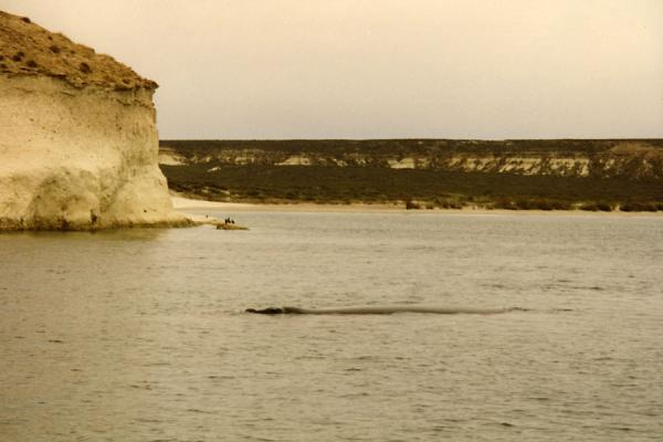 Picture of Puerto Madryn whale watching (Argentina): Floating whale near the coast of Puerto Madryn