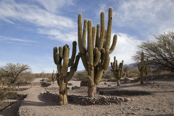 Candelabra cacti at the ruins of Quilmes | Rovine di Quilmes | Argentina
