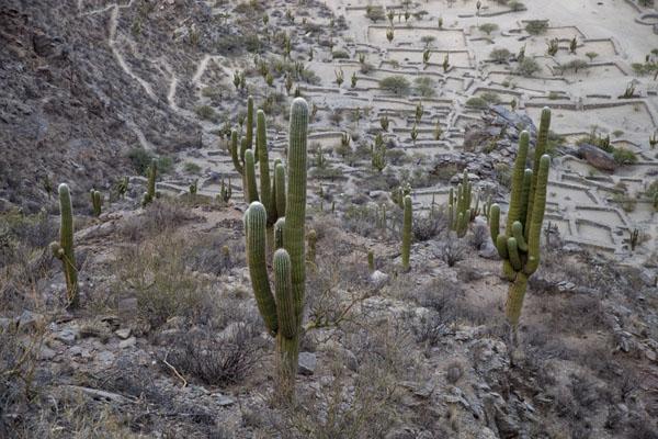 Cacti growing amidst the ruins of the Diaguitan city of Quilmes | Rovine di Quilmes | Argentina