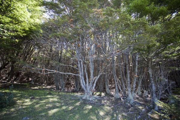 Subantarctic southern beech woods with guindo and lenga trees | Tierra del Fuego National Park | Argentina