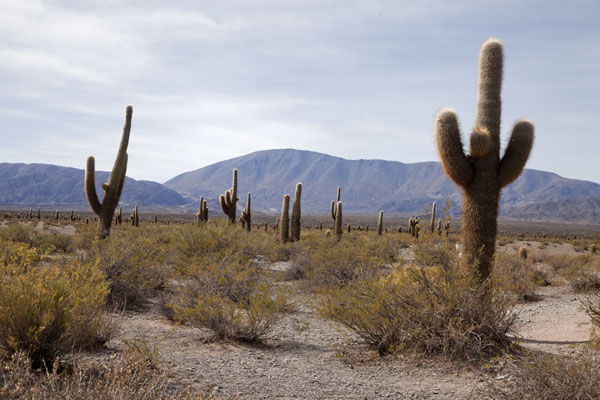Picture of Candelabra cacti in the Parque Nacional Los CardonesValles Calchaquies - Argentina