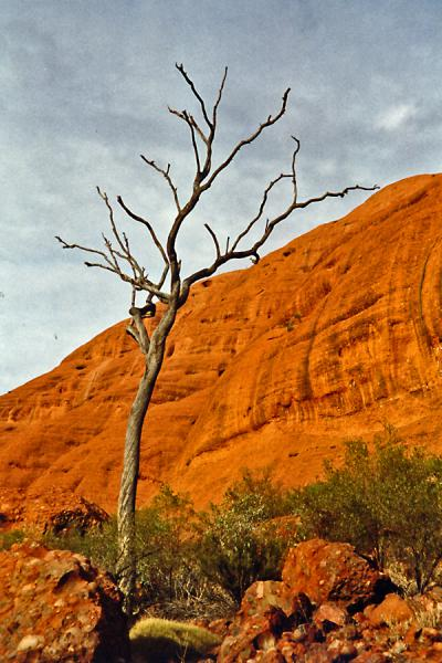 Foto van Tree dwarfed by the huge and omnipresent rock.Ayers Rock - Australië