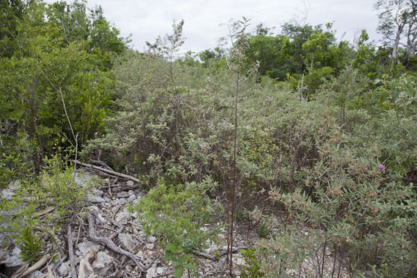 Trail overgrown with vegetation between Port Howe and Columbus Point | Columbus Point | Bahamas