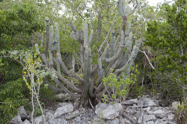 Cactus in the thick vegetation between Port Howe and Columbus Point | Columbus Point | Bahamas