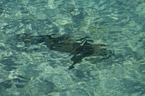 Foto van Shark swimming through the turquoise waters off Lighthouse PointLighthouse Beach - Bahamas