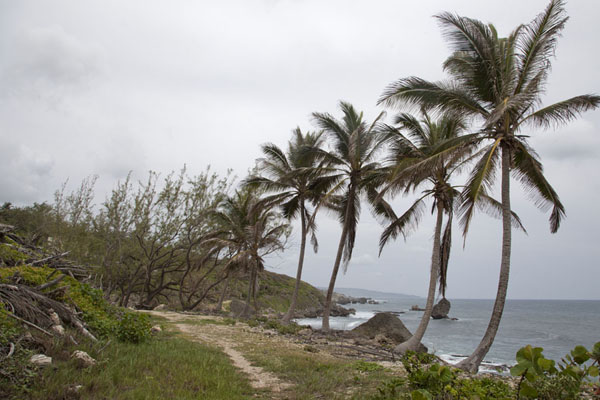 Line of palm trees near Tent Bay | Barbados East Coast | Barbados