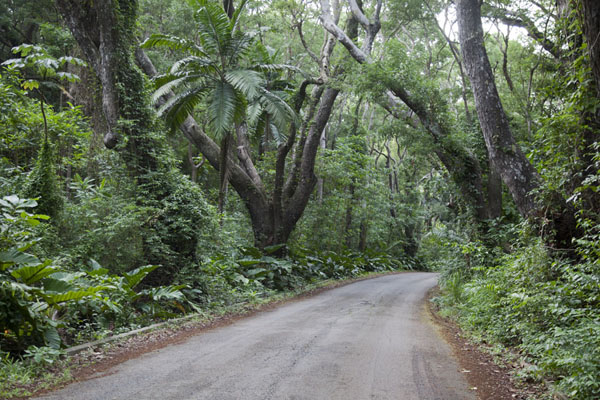 Foto van Road through a tunnel of mahogany trees at Cherry Tree Hill - Barbados - Amerika