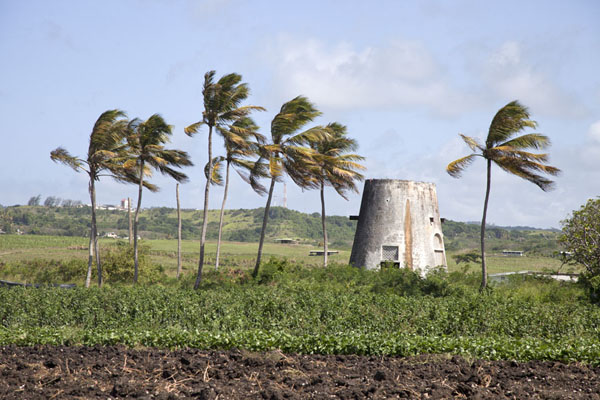 Palmtrees and remains of windmill in the north of Barbados | Barbados binnenland | Barbados
