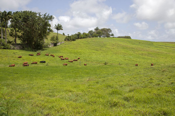 Picture of The grassy green interior of Barbados with grazing cows