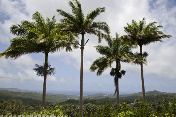 Line of tall palmtrees at the lookout in Welchman Hall Gully | Barbados binnenland | Barbados