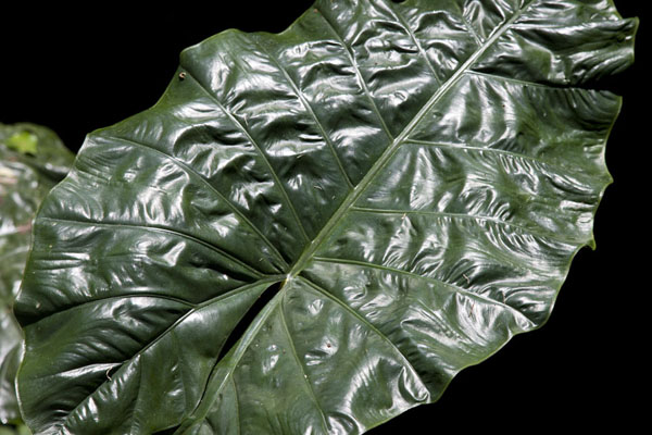 Close-up of a big leaf in Welchman Hall Gully - 巴贝多