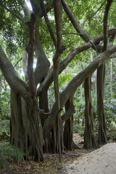 Foto di At Welchman Hall Gully, you can find a wide array of trees and plants of the island of Barbados - Barbados - America