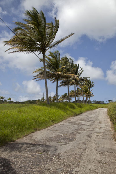 Picture of Palmtree-lined road in the interior of Barbados
